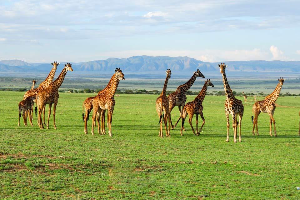 Le Ngorongoro est une zone protégée, un prolongement vers l'Est du parc national du Serengeti avec lequel il partage le même écosystème. Mais le Ngorongoro c'est surtout un cratère volcanique. Un espace fermé unique au monde, de presque 20 km de diamètre et de 610 m de profondeur, qui enferme des marais, de la forêt et de la savane. Environ 25 000 animaux sauvages partagent cet espace de 304 km² avec ...