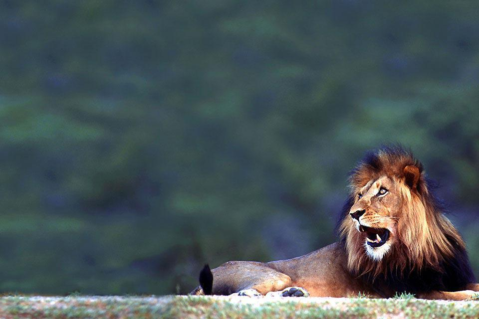 """Il Kgalagadi Transfrontier Park è il risultato dell'unione del """"Kalahari Gemsbok National Park"""" e del """"Botswana's Gemsbok National Park"""" avvenuta alla fine del 1990. Questa fusione ha portato ad ottenere un area di 38.000 km². La sua dimensione ne fa la seconda riserva pubblica dell'Africa del sud, un territorio più vasto del Belgio! Caratterizzato da un clima semi-desertico, questo luogo è attraversato ..."""