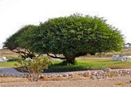 L'arbre à encens.