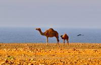 Deuxième ville d'Oman après Mascate, porte d'entrée du Dhofar, le 'pays de l'encens', Salalah, au petit nom chantant, ne présente pas le même visage selon qu'on s'y rend en hiver ou en été. De mi-juin à mi-septembre, cette région reçoit en effet les pluies de la mousson indienne. Les montagnes environnantes verdissent, des cours d'eau dévalent les pentes, se transformant parfois en cascade quand le ...