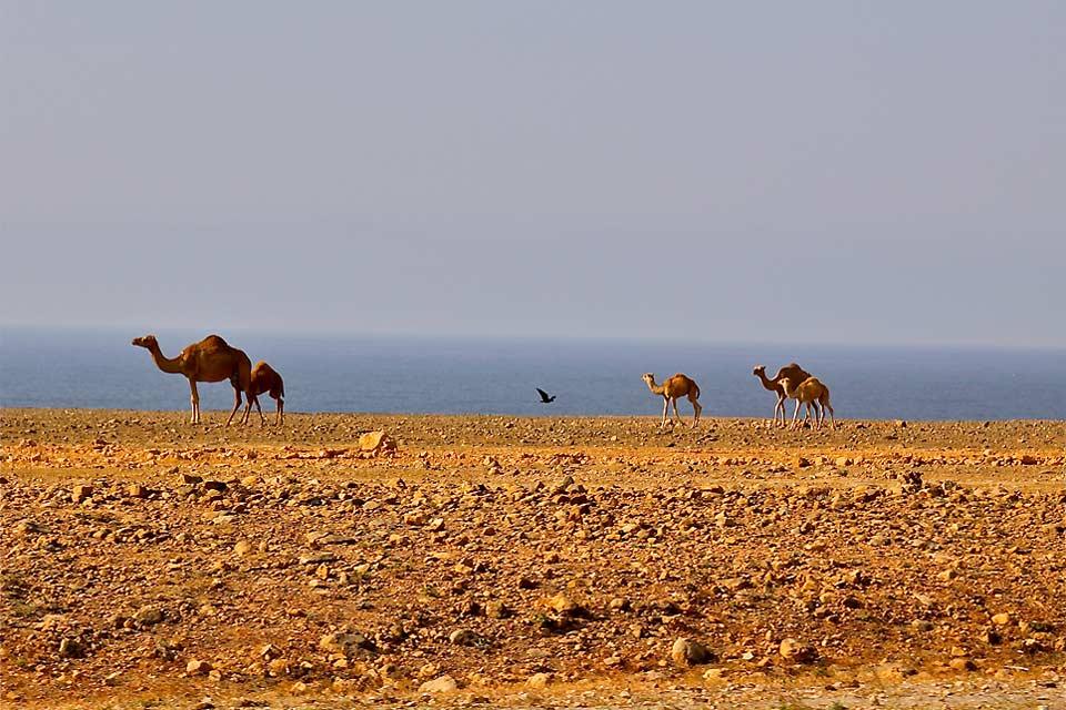 Eine Dromedar-Familie spaziert über den Strand.