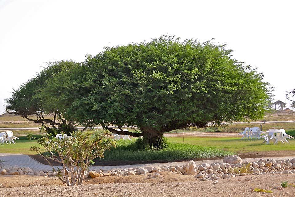 Der Weihrauchbaum.