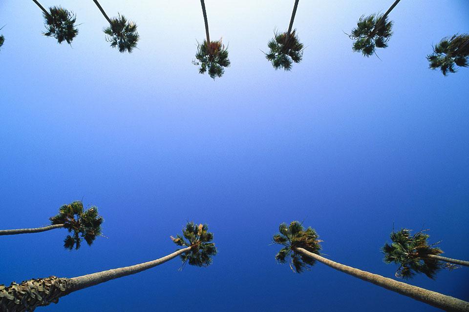 The Washingtonia filifera is a palm tree common to California. Its name pays hommage to President Washington