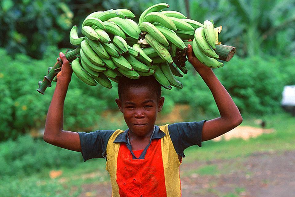 La culture de la banane verte est très prisée à Sao Tomé.