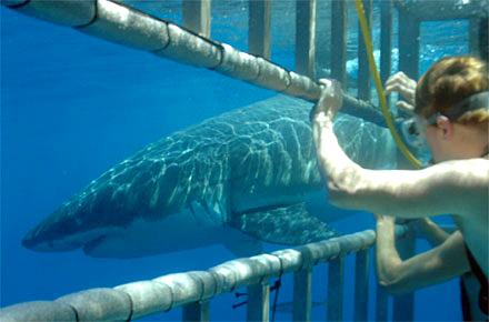 Nuotare con gli squali in Africa meridionale