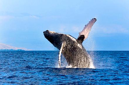 Voir les baleines dans l'océan Indien