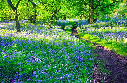 Follow the bluebells at Ashridge
