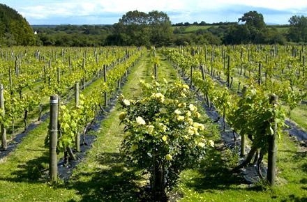 Your very own vineyard in Glyndwr