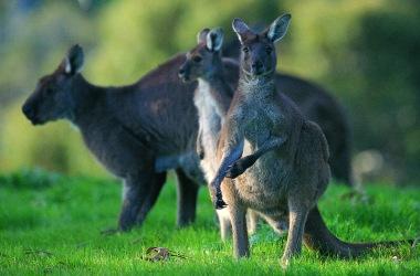 Australia and its kangaroos