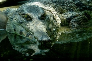 Dominican crocodiles