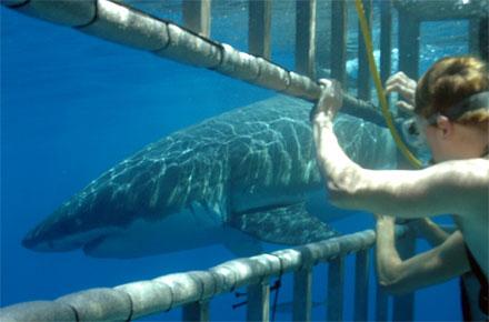 Nager avec les requins en afrique du sud dix baignades - Nager avec les dauphins en piscine ...